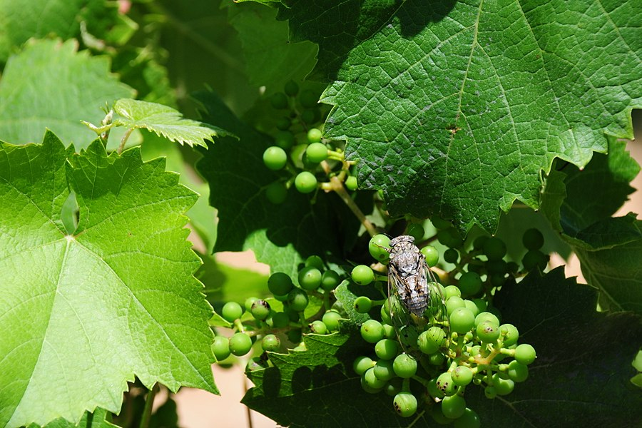 Un Cigale that makes very loud noise in the vineyard