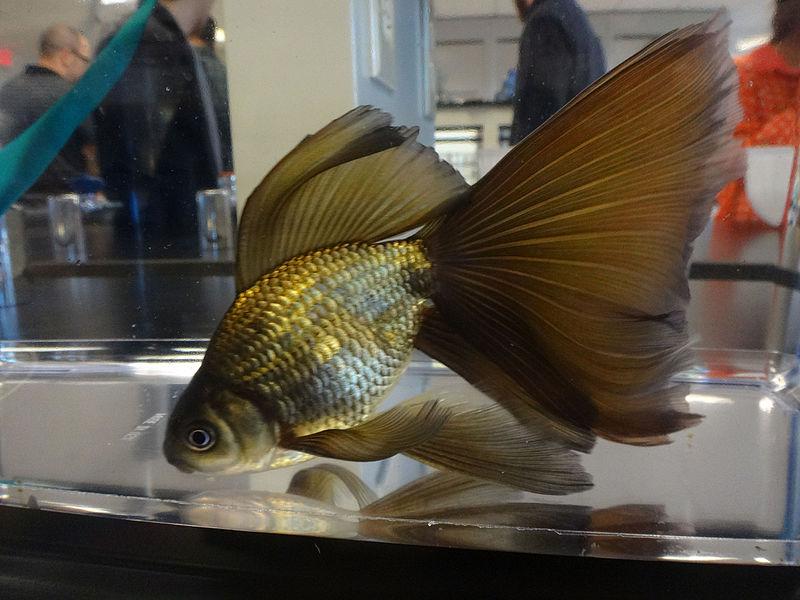 File:Uncolored Philadelphia Veiltail Goldfish.jpg ...