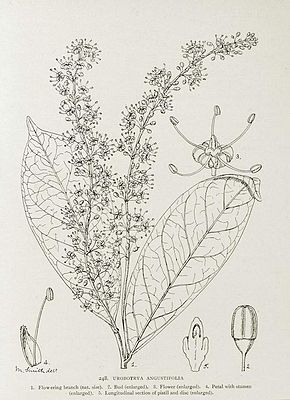 Urobotrya angustifolia, Illustration