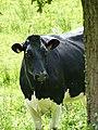 Vache Prim'Holstein, Morbihan.jpg