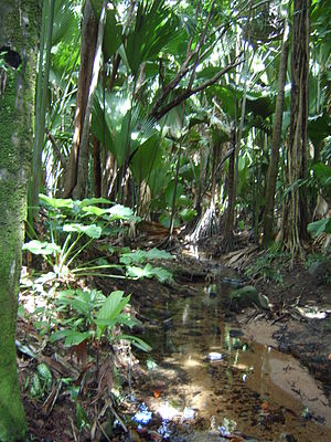 Wildlife of Seychelles - The Vallée de Mai habitat, on the island of Praslin, Seychelles.