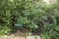 Van Riebeeck's Hedge, Kirstenbosch Botanical Garden, Cape Town-001.jpg