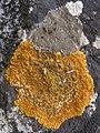 Variospora flavescens 232785.jpg