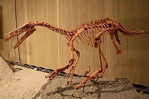 Velociraptor, Skelettrekonstruktion
