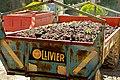 Vendanges de cinsault à Tavel 2010.jpg