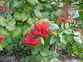 Viburnum dilatatum04.jpg