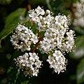 Viburnum tinus-Viorne tin-Corymbes-20190311.jpg