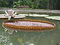 Victoria amazonica - Giant Water Lily at Nilambur (8).jpg