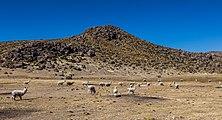 Vicuñas (Vicugna vicugna) en Reserva Nacional Salinas, Arequipa, Perú, 2015-08-02, DD 60.JPG