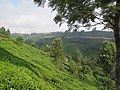 Views around Munnar, Kerala (110).jpg