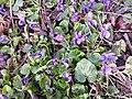 Viola odorata sl27.jpg