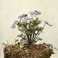 Viola pedata WFNY-133.jpg