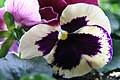 Viola tricolor Majestic Giants Ii Patricia 3zz.jpg