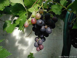 <i>Vitis vinifera</i> species of plant