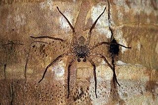 Selenopidae family of arachnids