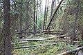 Wapta Falls Trail IMG 4954.JPG