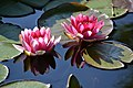 Waterlilies (5701137771).jpg