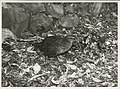 Weka. (Gallirallus australis).jpg