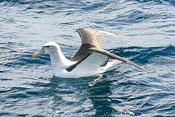 White-capped Albatross (8076892903).jpg