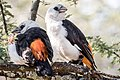 White-headed Buffalo Weavers (27638508083).jpg
