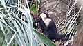 White-headed Capuchin (Cebus capucinus) (28175852037).jpg