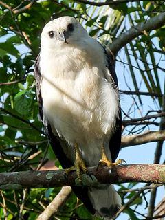 White-necked hawk species of bird