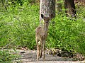 White-tailed Deer, Kanawauke Lake.jpg