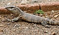 White-throated Monitor (Varanus albigularis) juvenile (33146281390).jpg