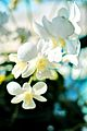 White Orchid by the Pool.jpg