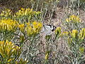White Pine Butterfly; Neophasia menapia (9403855608).jpg