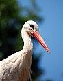 White Stork Zoo Münster.jpg