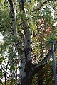 Wiener Naturdenkmal 383 - Silberpappel (Währing) g.JPG