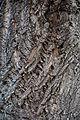 Wiener Naturdenkmal 561 - Tulpenbaum (Innere Stadt) c.JPG