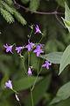 Wiesen-Glockenblume (Campanulaceae- Campanula patula)? (7576531164).jpg