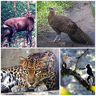 Native species in Vietnam, clockwise from top-right: crested argus, a peafowl, red-shanked douc, Indochinese leopard, saola. Wildlife of Vietnam.jpg