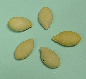 Wax Gourd - Image: Winter melon seed