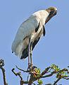 Wood stork preening by Bonnie Gruenberg.jpg