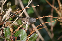 The Wrentit's relationships have long been elusive.It turned out to related to the typical warblers, too