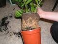 Wurzelboden einer Topfpflanze während des Umtopfens.JPG
