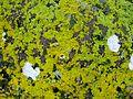 Xanthoria parietina on rocks at Portencross.JPG