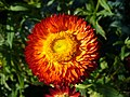 Xerochrysum bracteatum.jpg