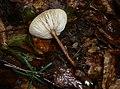 Xerula melanotricha Dörfelt 212374 2011-07-15.jpg