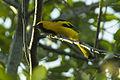 Yellow-tailed Oriole - South Ecuador S4E1703 (23863251956).jpg