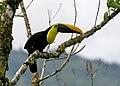 Yellow-throated Toucan (49570791418).jpg