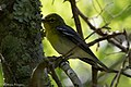 Yellow-throated Vireo Sabine Woods High Island TX 2018-04-26 12-36-39 (41190695205).jpg