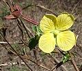 Yellow flower - Nairucu (9549180838).jpg