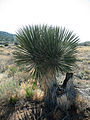 Yucca plant, Fort Bowie NHS (6263909927).jpg