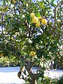 Zakynthos May 2009 Lemon tree near Vassilikos - panoramio.jpg