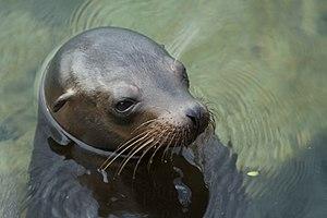 Galápagos sea lion - Head and ear detail