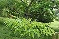 Zanthoxylum ailanthoides kz02.jpg
